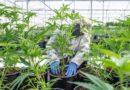 RETRANSMISSION: California Grants Cannabis Cultivation License to TransCanna